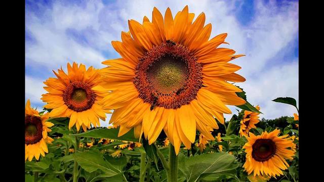 01 july 26 sunflower in blossvale by susan campbell_1469667960499.jpg