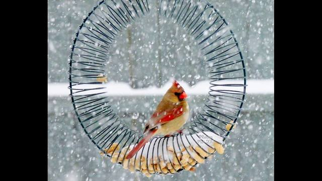 cardinal in the snow - Rennae Marshall Christman