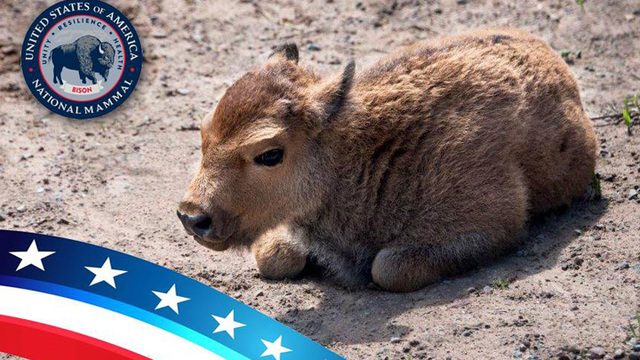 Rosamond Gifford Zoo to celebrate its first baby bison