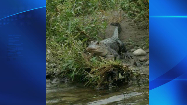 Third alligator sighting reported near Whitney Point