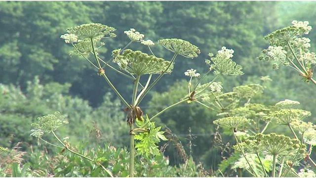 DEC warning about the dangers of hogweed