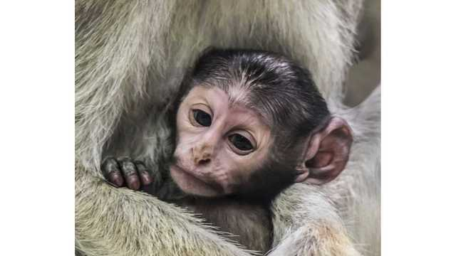 Rosamond Gifford Zoo welcomes new baby patas monkey