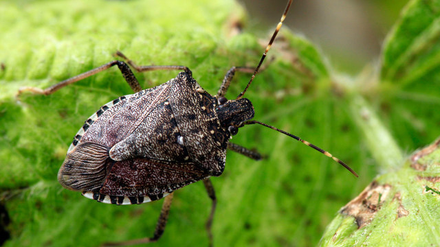 Stink bugs expected to cause more problems this year