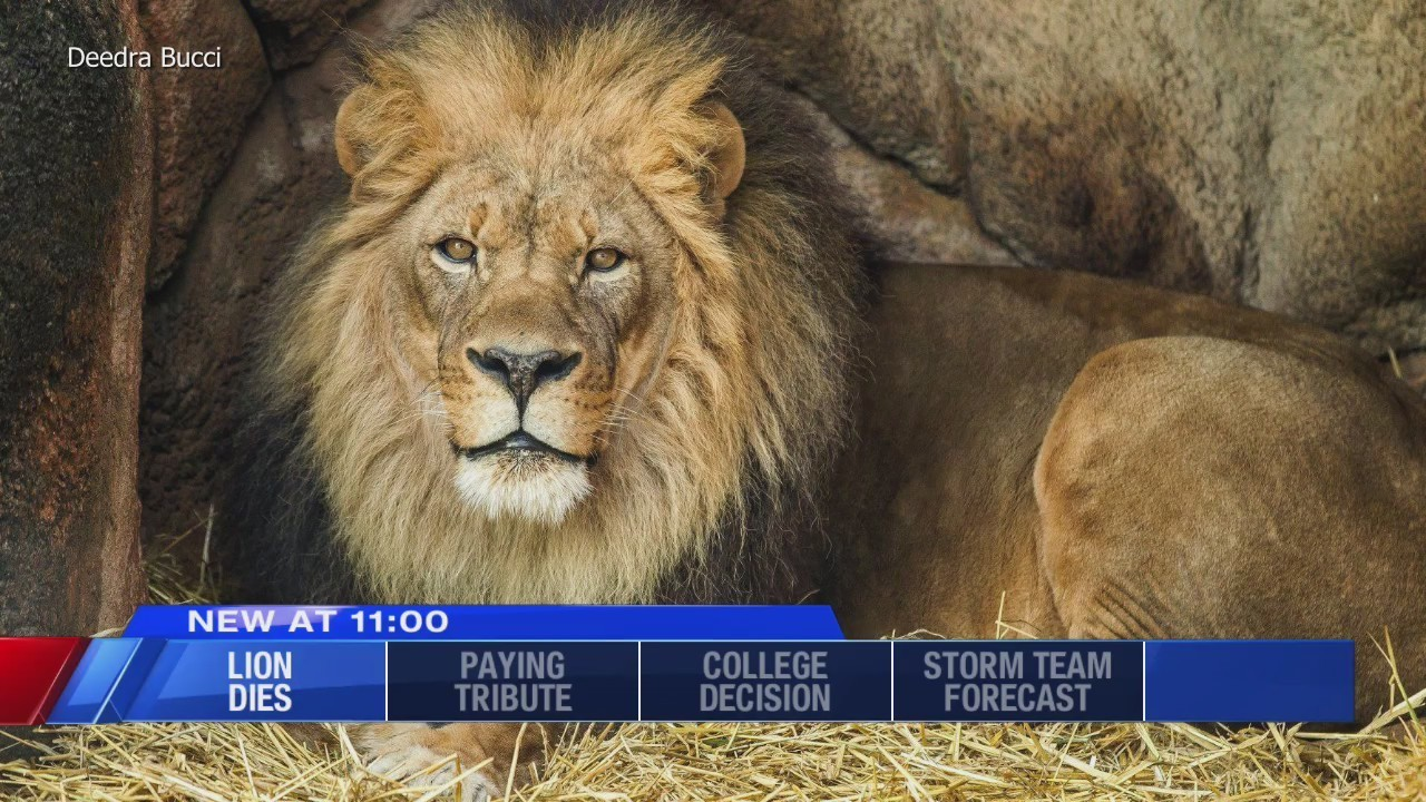 last remaining lion at the rosamond gifford zoo dies