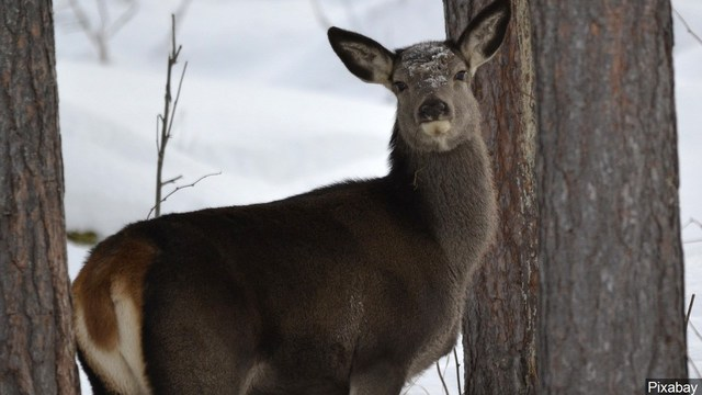 """CDC issues warning on MDC, also known as """"zombie deer disease"""""""
